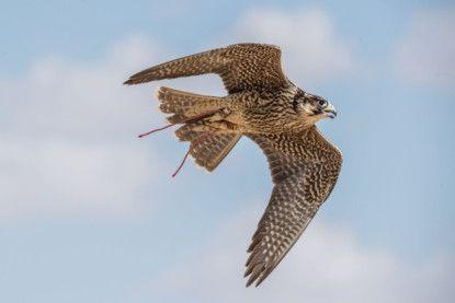NAT 200131 FALCON falcon at flight 01-1580477138393