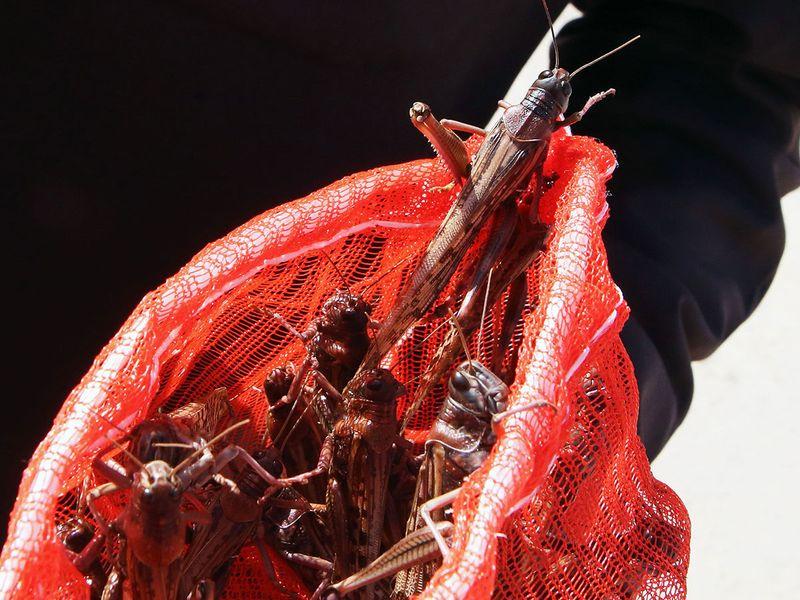 Kuwait locusts