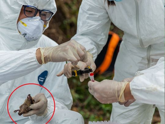 Researchers handle a bat captured in the Guangdong province of China.