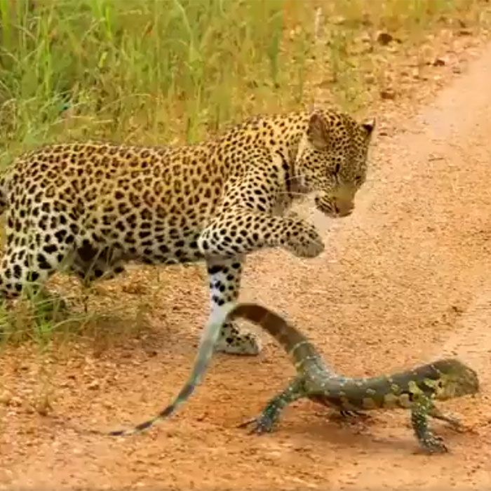 Leopard vs monitor lizard