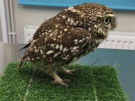 Owl Plump