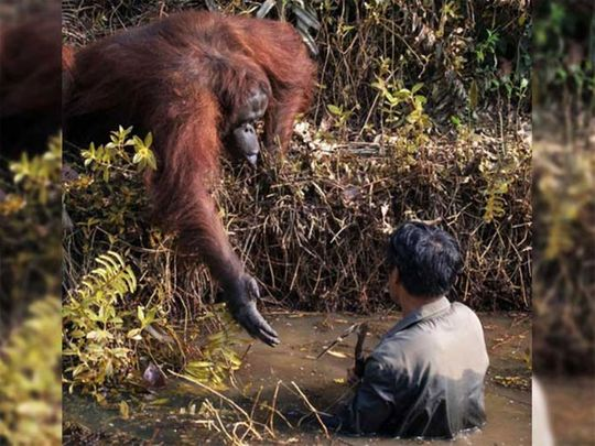 Photo of orangutan offering help to man goes viral