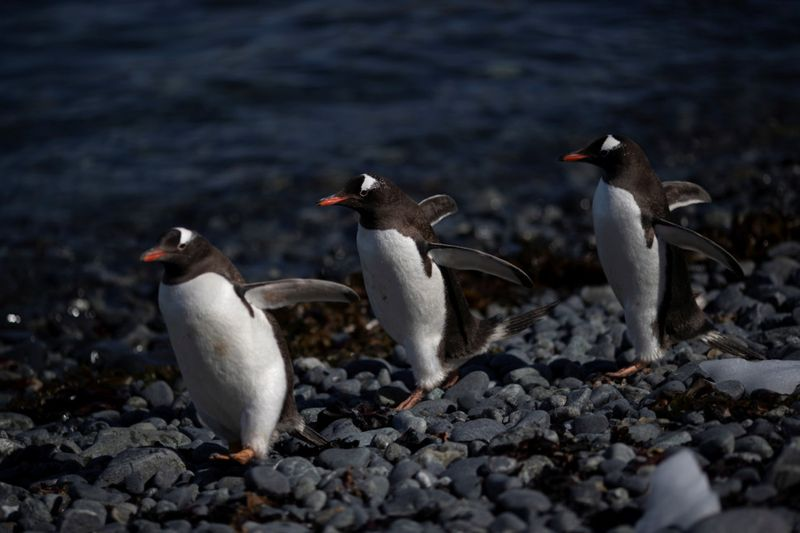 Copy of 2020-02-11T000316Z_1528426023_RC20YE97BWDL_RTRMADP_3_CLIMATE-CHANGE-ANTARCTICA-PENGUINS-1581423714151