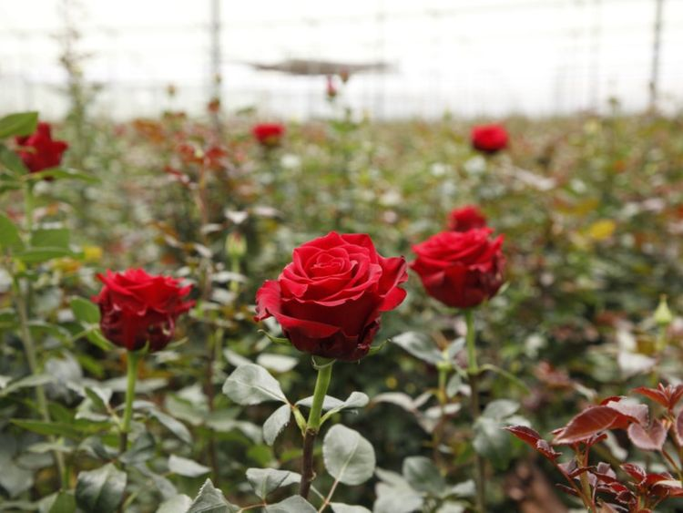 NAT valentine roses 7-1581500480917