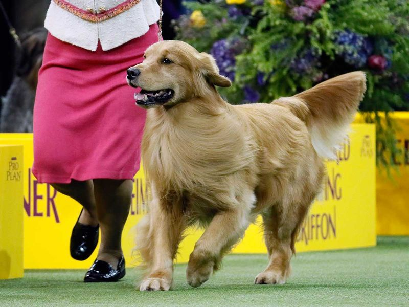 Westminster_Dog_Show_17010