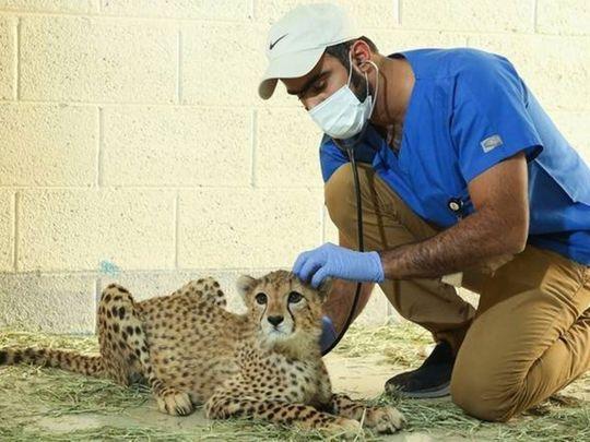 Al Ail Cheetah cub