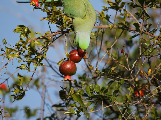 15- A Roseringed Parakeet is enjoying a meal out of Pomegranate  fruit is a hill garden-1583567242028