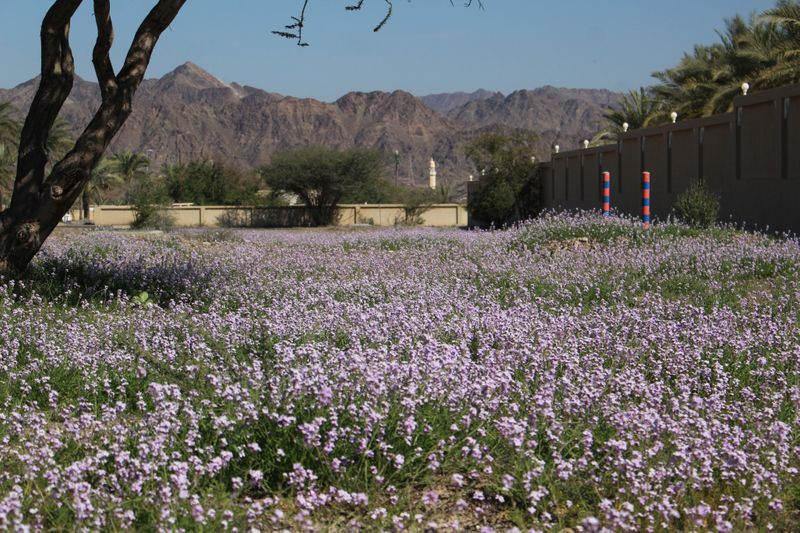 8. This pink blossom is of Pink Mustard in Hatta town itself-1583567260353