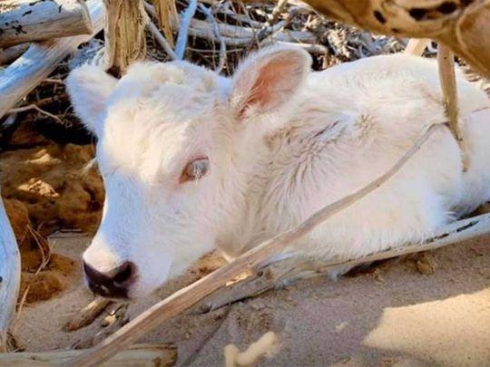 200321 calf