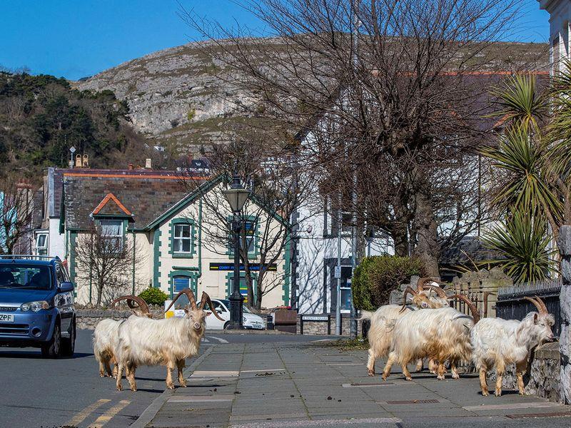 A herd of goats walk the quiet streets in Llandudno, north Wales