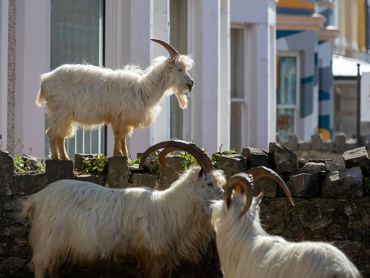 Goats In A Ghost Town Animals Take Over Deserted Welsh Resort News Photos Gulf News