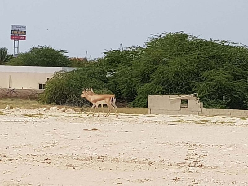 Gazelles in Dubai