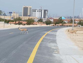 Gazelles in Dubai