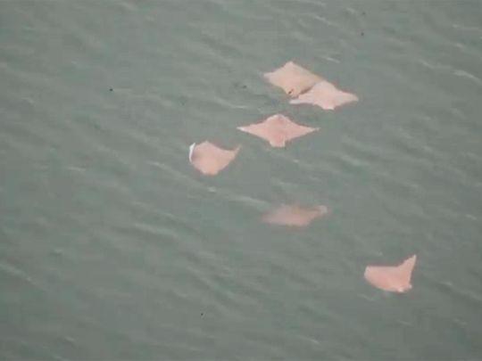 Oman cownose rays spotted in Dubai Marina