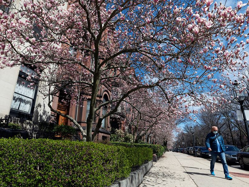 A man wearing a protective mask during the coronavirus outbreak walks under flowering magnolia trees on Commonwealth Avenue in Boston.