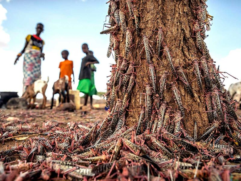Locusts Africa