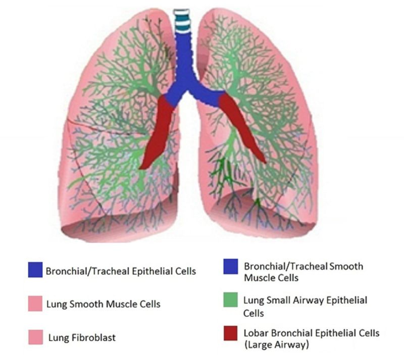 HUMAN AIRWAY CELLS: Oxygenated air enters