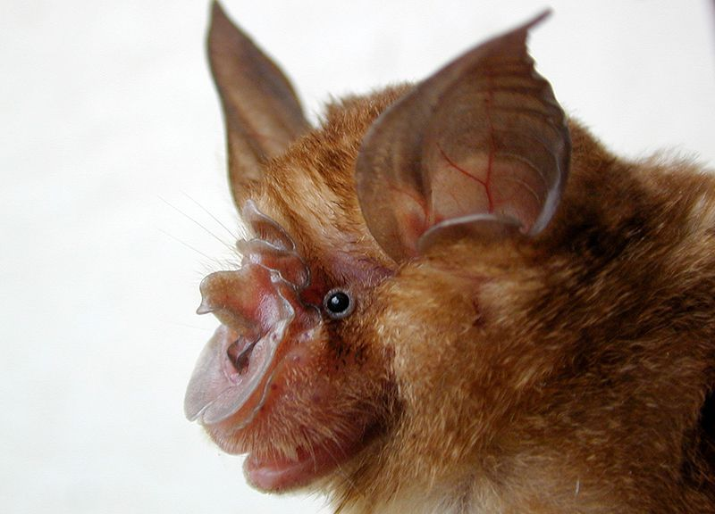 SARS HORSESHOE BATS