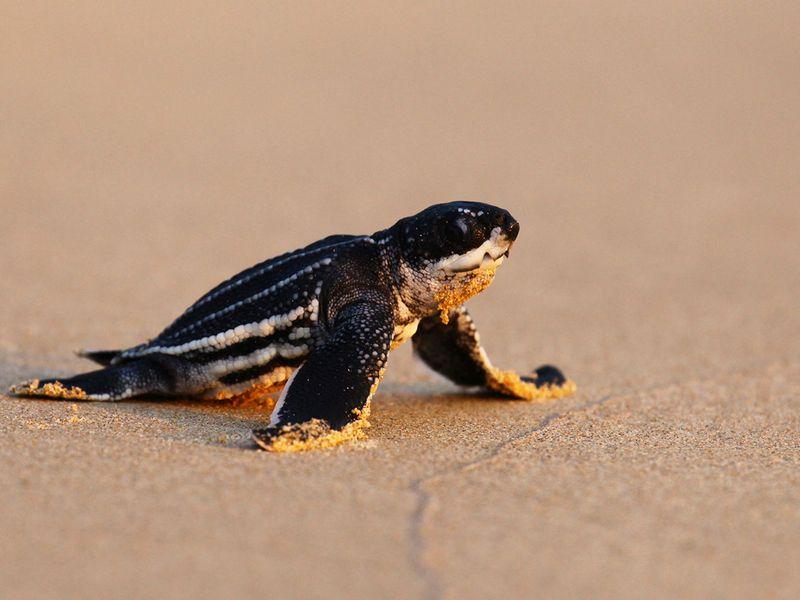 Thailand turtle