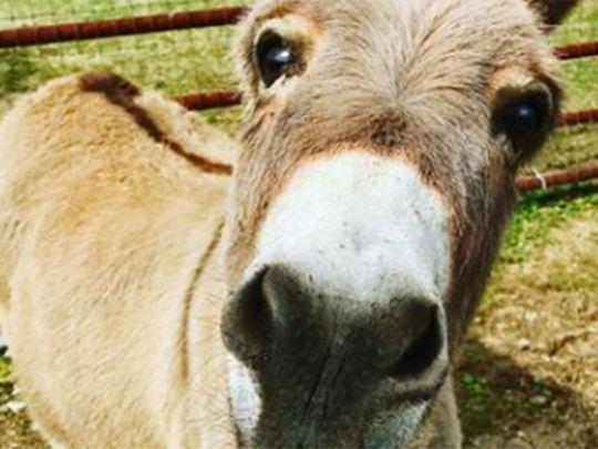 Meet Mambo the miniature donkey, he crashes boring zoom meetings