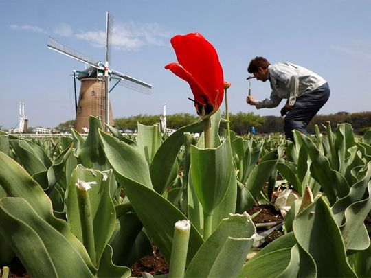 Why a Japanese City Had to Mow Over 800,000 Peak-Bloom Tulips