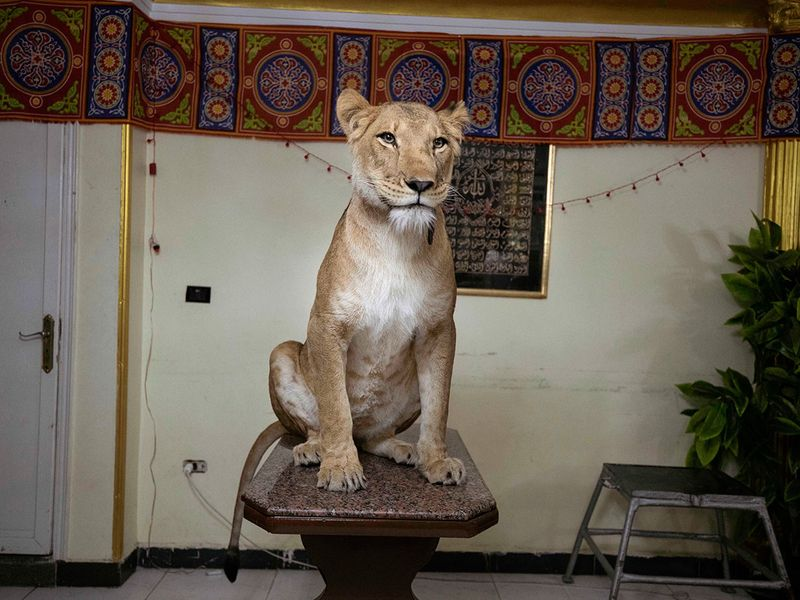 Lions_at_Home