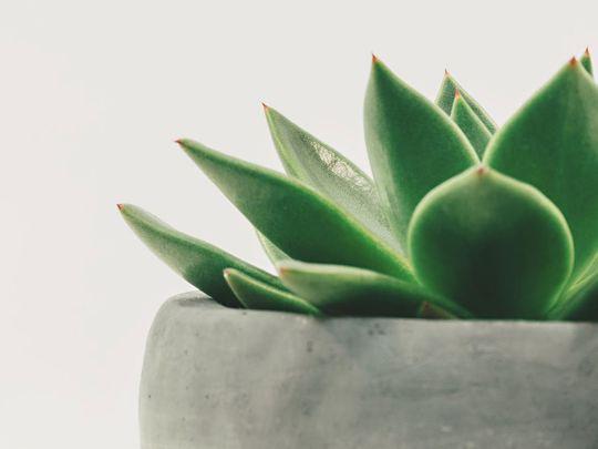plant, potted plant, succulent