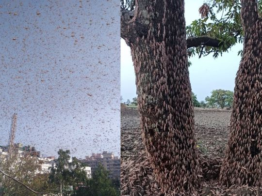 Many Indians have taken to social media to share videos and photos of swarms of locusts blanketing entire towns
