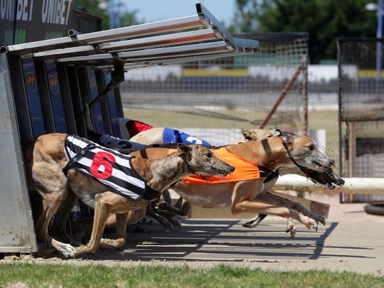 Greyhounds run out of the traps at Perry Barr Stadium, near Birmingham.