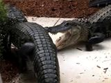 Florida woman discovers alligators fighting by her home