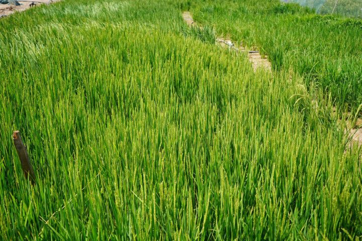NAT 200603 Rice field in Al Dhaid_Sharjah-1591184749940