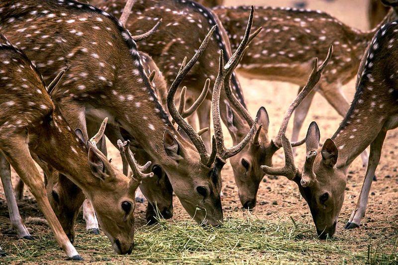 20200604 deer
