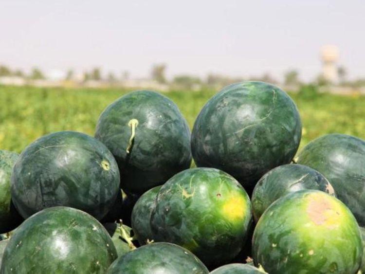 Omani Farmer Grows 200 Tons Of Watermelon This Season Oman Gulf News