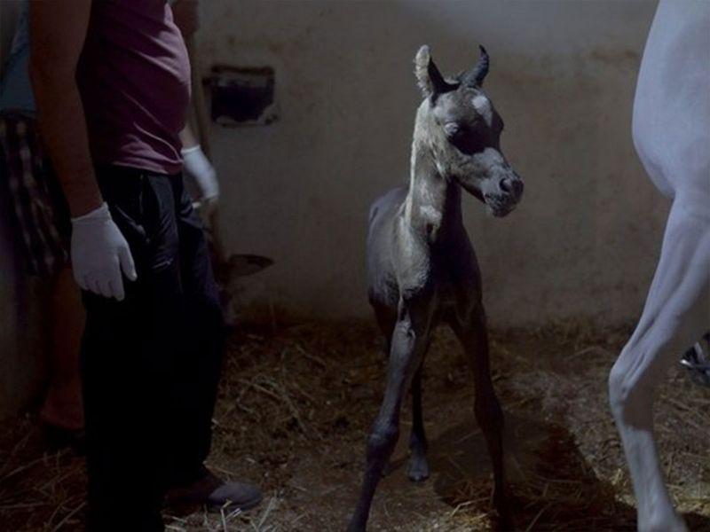 'Stallions of Palestine'