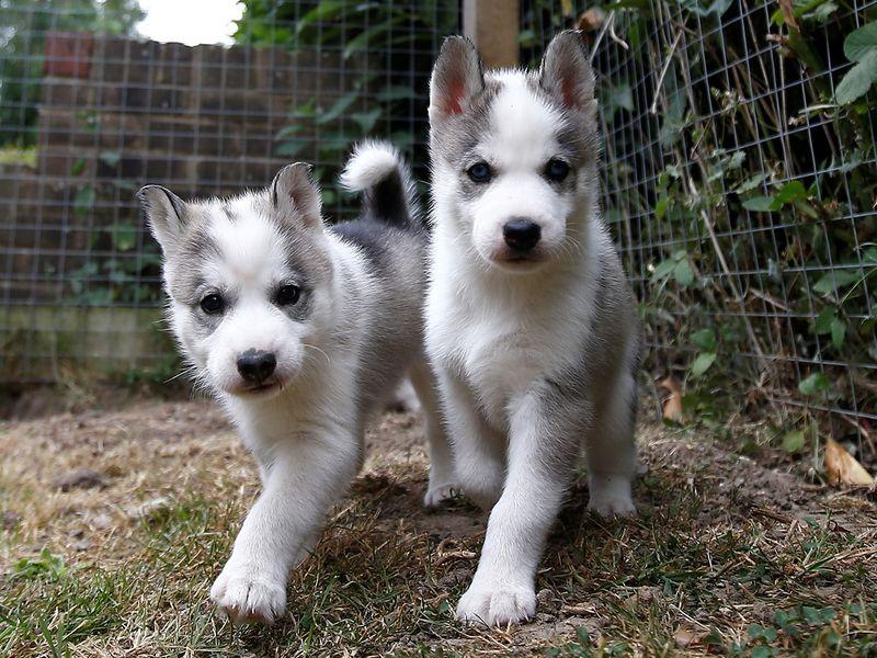 Siberian huskies-gallery