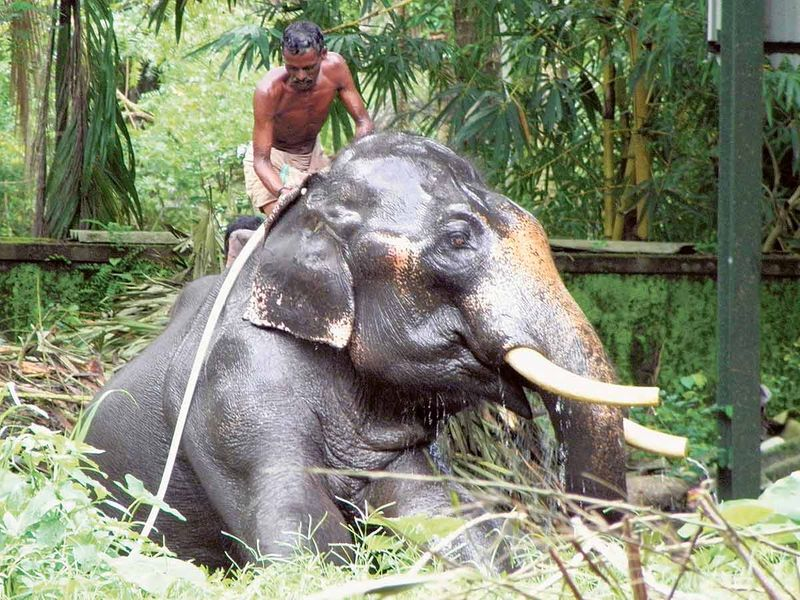 A handler washing an elephant in an elephant sanctuary in Kerala, India
