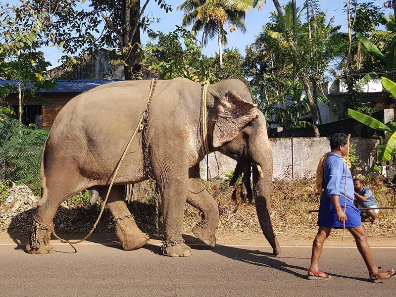 A mahout walking with an elephant on the road in Kochi, Kerala