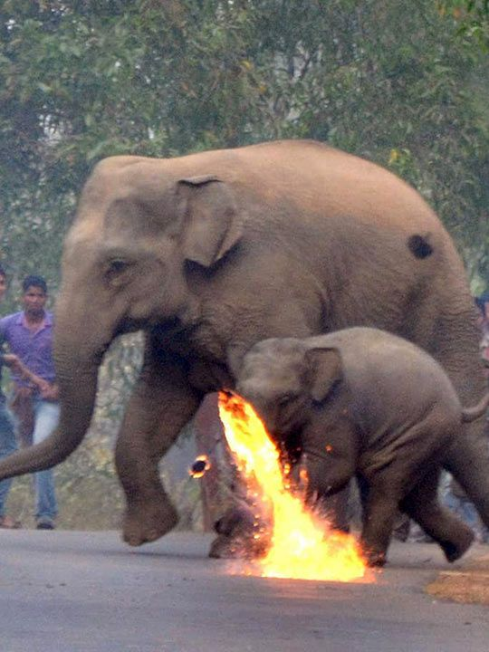 People use firebombs to chase away elephants wandered into an Indian village