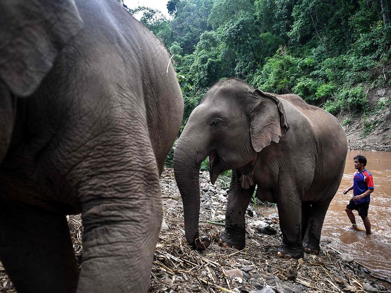 Thai elephants' mass migration