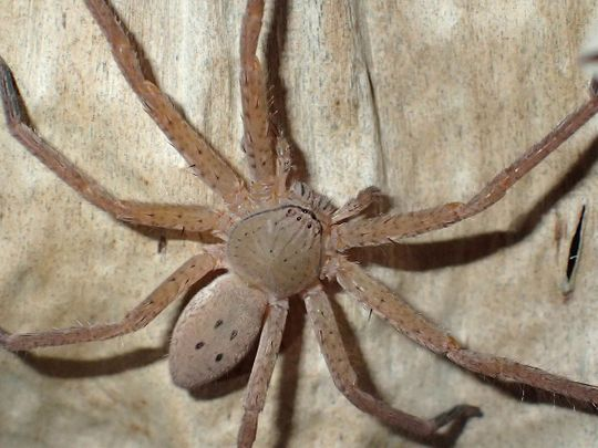 New spider species named after Greta