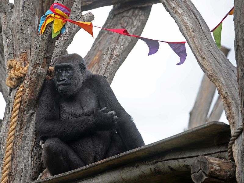 20200614_Gorilla_london