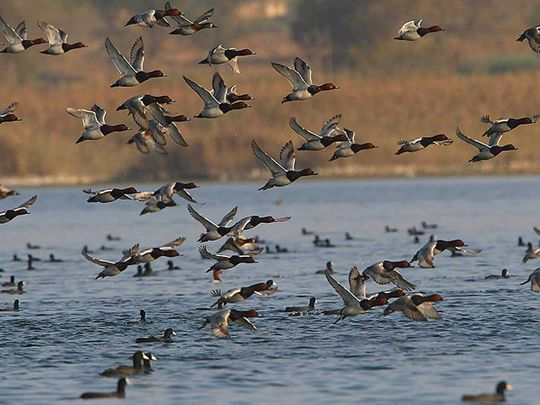 Migratory birds pakistan