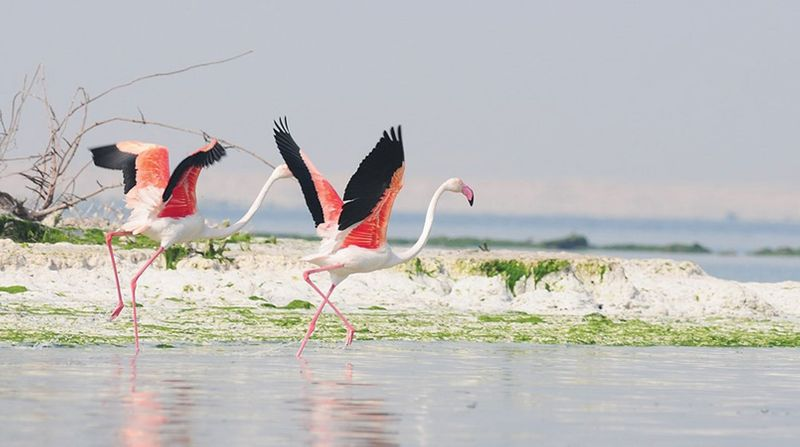 Flamingos in Abu Dhabi