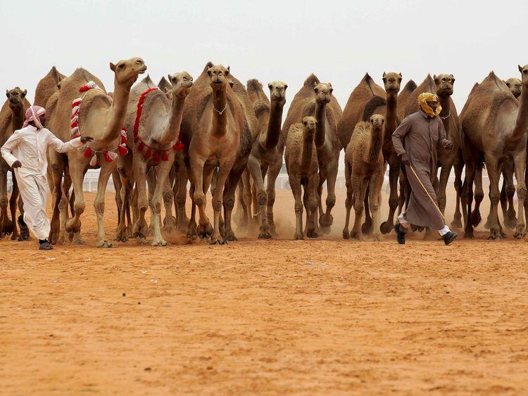 Camels worth SR300,000 stolen in Saudi Arabia | Saudi – Gulf News