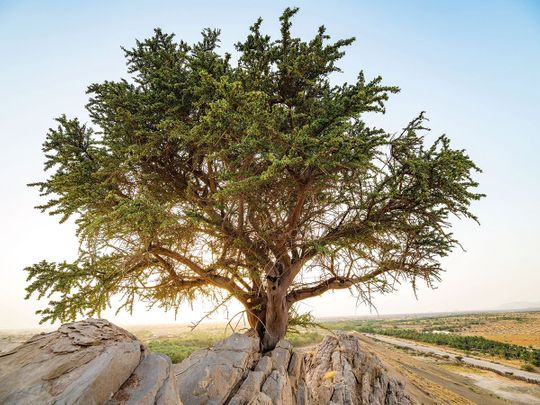 100 year old yew tree discovered in Abu Dhabi