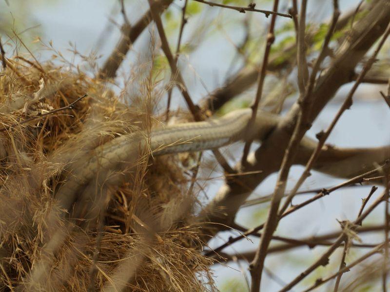 Snake raids a sparrow nest in Al Qudra