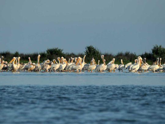 Nature Danube Delta Pelican colony