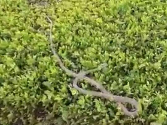 Snake spotted in Dubai's Mushrif Park