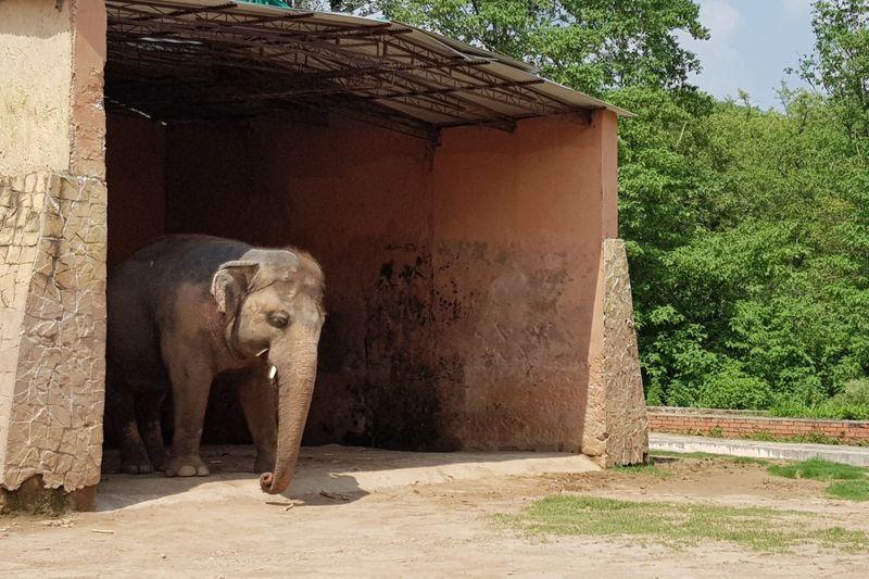 WPK 200719 Kaavan the lone elephant at Islamabad Zoo1-1595147099591