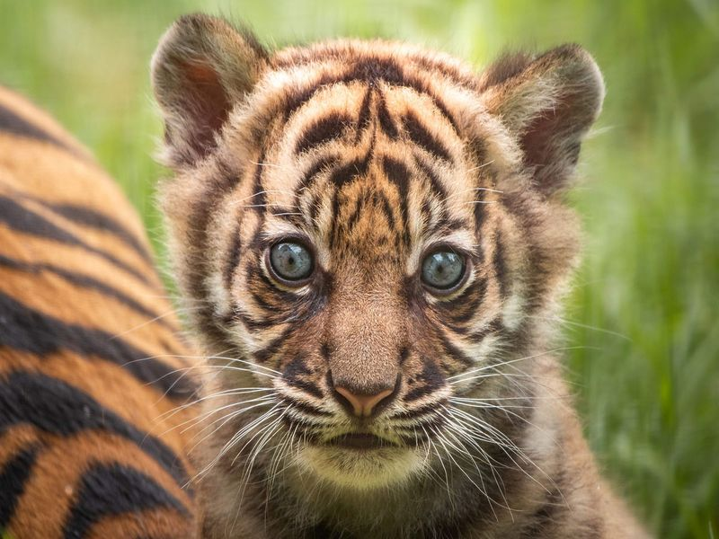 Sumatran Tiger cub gallery